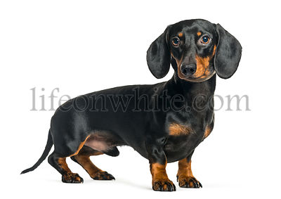 Dachshund, Sausage dog in front of white background