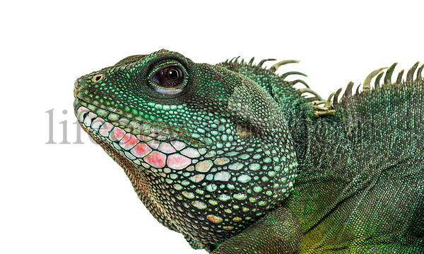 Chinese water dragon , Physignathus cocincinus, is a species of agamid against white background