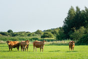 Group of brown cows in a meadow