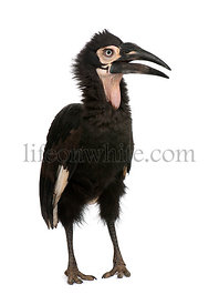 Young Southern Ground-hornbill - Bucorvus leadbeateri (18 months)
