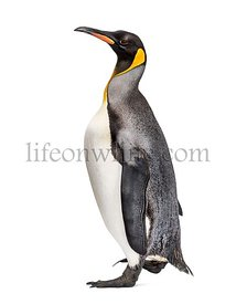Side view of a King penguin running isolated on white