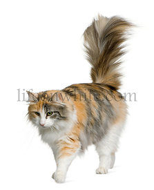 Norwegian Forest Cat, 3 years old, standing in front of white background