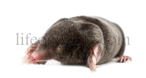 European Mole, Talpa europaea, against white background