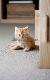 Adorable Orange Fluffy Kitten Looking at Camera While Sitting on Bedroom Floor Carpet
