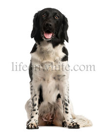 Front view of a Stabyhoun sitting, panting, isolated on white