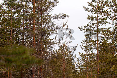 Capercaillie´s feeding tree