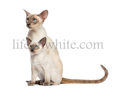 Oriental Shorthair father sitting with its kitten, 9 weeks old, and looking away against white background