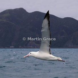 Southern Royal Albatross (Diomedea epomophora) in flight, Kaikoura, Canterbury, South Island, New Zealand