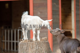 two goats nose to nose