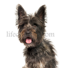 Cairn Terrier in front of white background