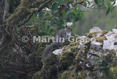 Grey Squirrel (Sciurus carolinensis) sitting on a mossy dry-stone limestone garden wall, Lake District National Park, Cumbria...