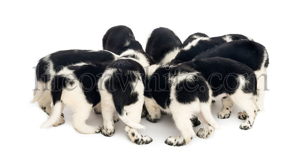 View from up high of Stabyhoun puppies eating together, isolated on white