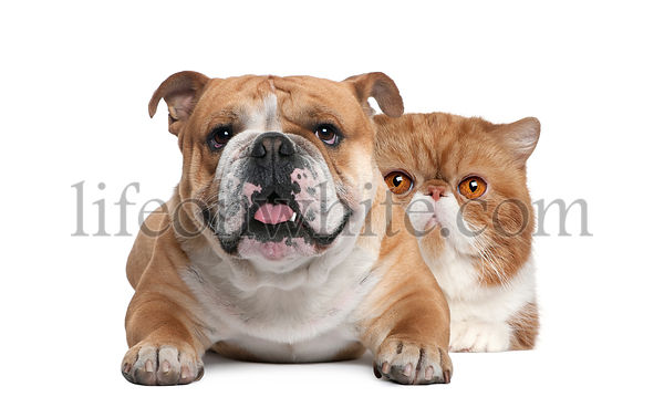 Cat and dog, Exotic Shorthair cat and British bulldog lying in front of white background