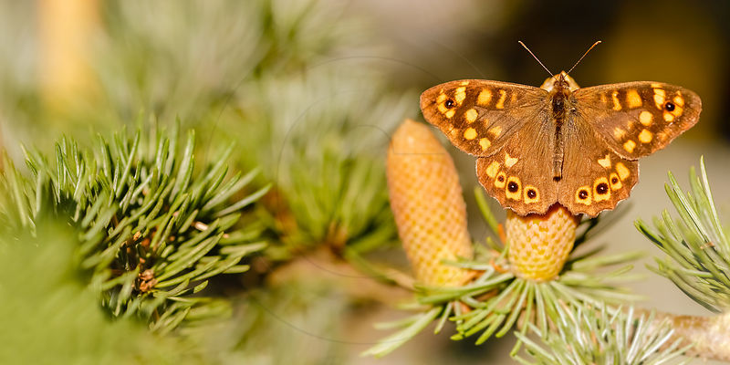Tircis - Speckled wood (Pararge aegeria)