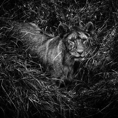 00794-Lion_Laurent_Baheux