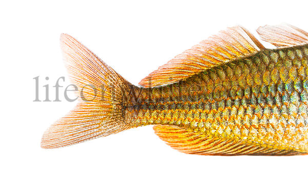 Close-up of an Eastern Rainbowfish\'s caudal fin, Melanotaenia splendida splendida, isolated on white