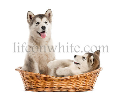 Alaskan Malamute puppies sitting in a basket isolated on white