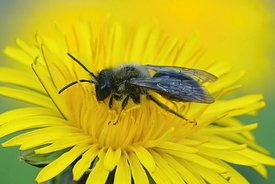Dorsal closeup of a male grey-backed mining bee on a dandelion, Taraxacum officinale