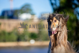 A dogs long hair blows in the wind