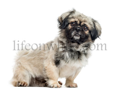 Pekingese, 2 years old, isolated on white
