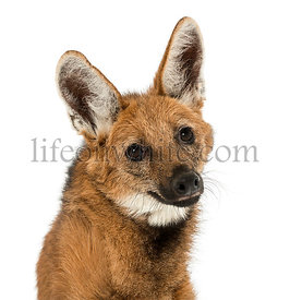 Close-up of a Maned Wolf, Chrysocyon brachyurus, isolated on white