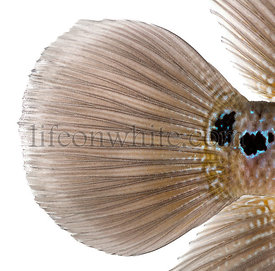 Close-up of a Living Legend\'s caudal fin, Flowerhorn cichlid, isolated on white