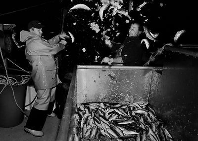 Crew of the 'Pride of Cornwall' hauling in a catch of sardines, in Mount's Bay, off the coast of Newlyn, Cornwall, England.