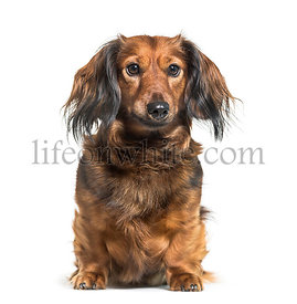 Dachshund, sausage dog, wiener dog sitting in front of white background