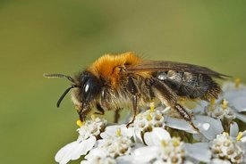 Closeup of a female Andrena nitida