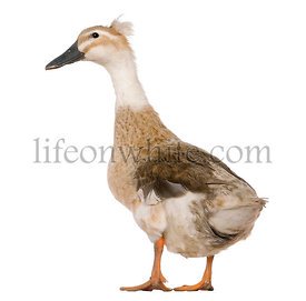 Female Crested Duck, 3 years old, standing