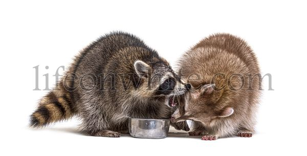 Two raccoons fighting to eat from a same dog bowl