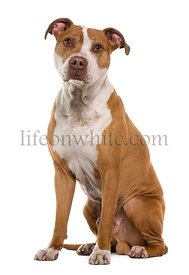 American Staffordshire terrier, 9 years old, sitting in front of white background