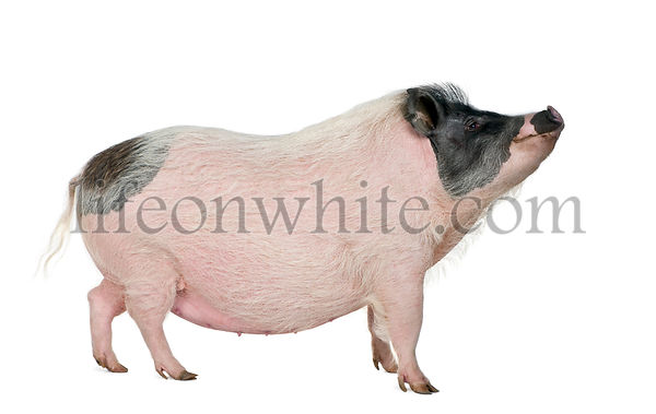 Side view of Gottingen minipig standing, studio shot