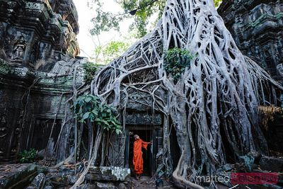 Buddhist monk under famous tree root temple, Angkor, Cambodia