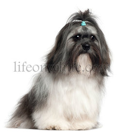 Shih Tzu, 9 months old, sitting in front of white background
