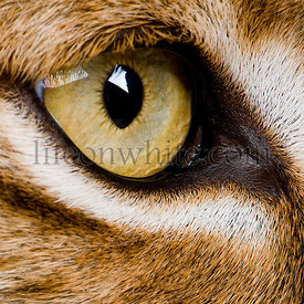 close-up on a feline' eye - Eurasian Lynx - Lynx lynx