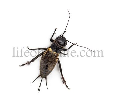 Female field cricket, isolated on white