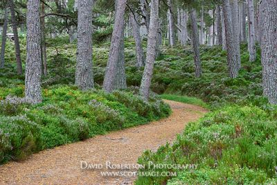 Prints & Stock Image - Track through woodland in the Ballochbuie Forest, part of the Balmoral Estate, near Braemar, Aberdeens...