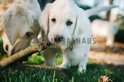 A golden retriever puppy with his mom and a stick