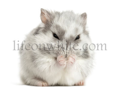 Hamster having a wash, isolated on white