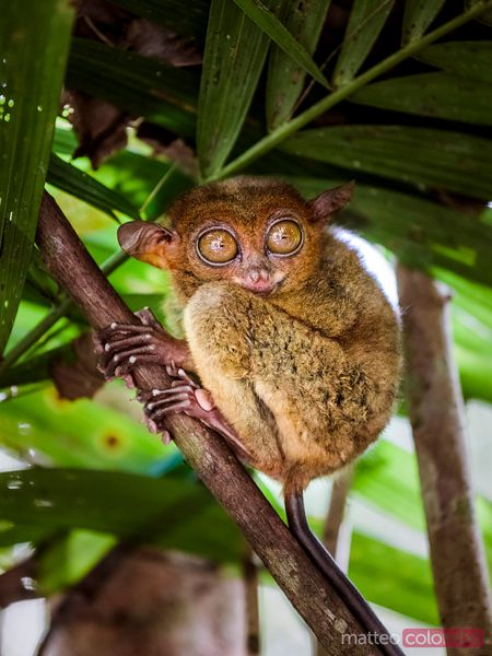 Close up of cute tarsier, Bohol, Philippines