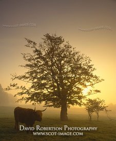 Image - Tree and Highland cow silhouetted in mist against rising sun