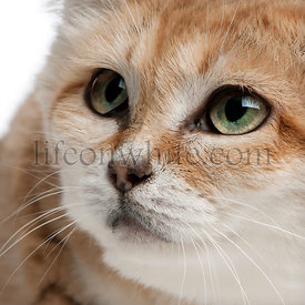 Close-up of Sand cat, Felis margarita, 17 years old, in front of white background