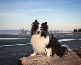 Little black and white dog sitting on log at the beach