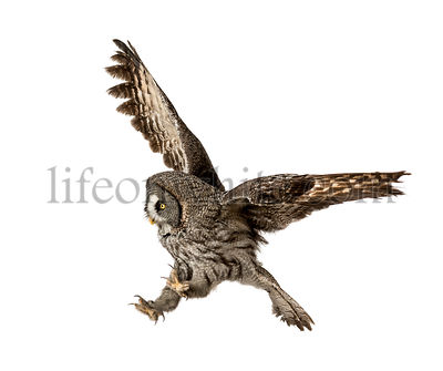 Great Gray Owl in attack position, Strix nebulosa, isolated on white