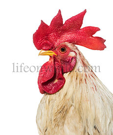 Close up of, Belgian rooster against white background