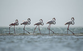 Greater Flamingos, Walvis Bay, Namibia