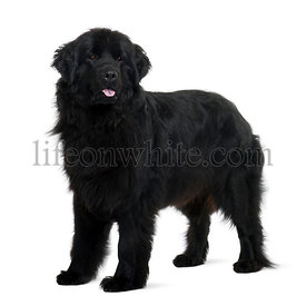 Newfoundland puppy, 2 years old, standing in front of white background