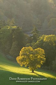 Image - Tree in evening sunshine, Scottish Borders, Scotland