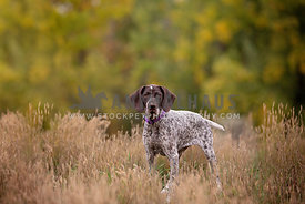 A pointer standing in tall grass in the fall
